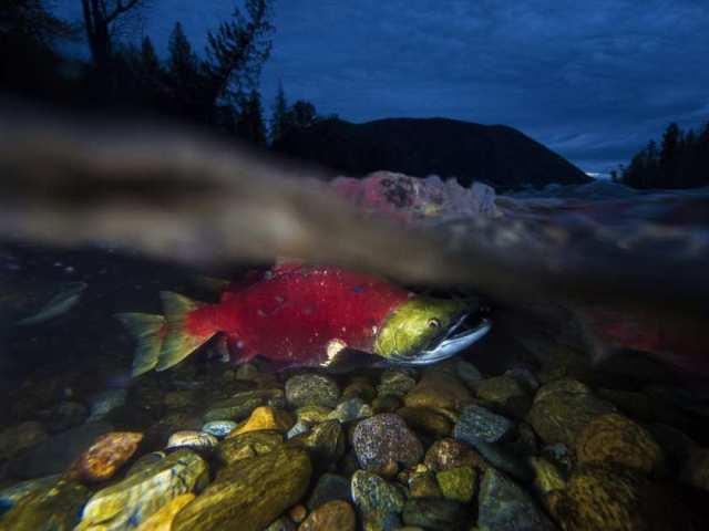 salmon cohen report