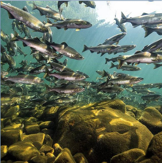 salmon fish farms