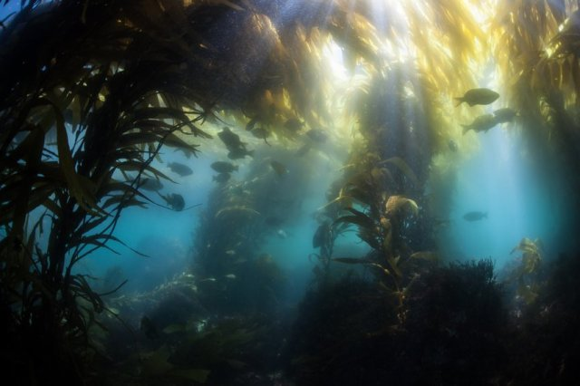 Shallow kelp forest. Credit: © ead72 / Fotolia