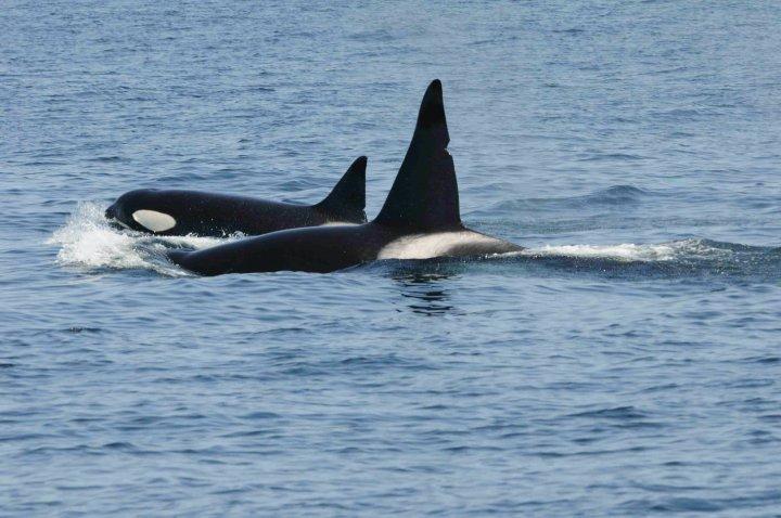killer whales carl