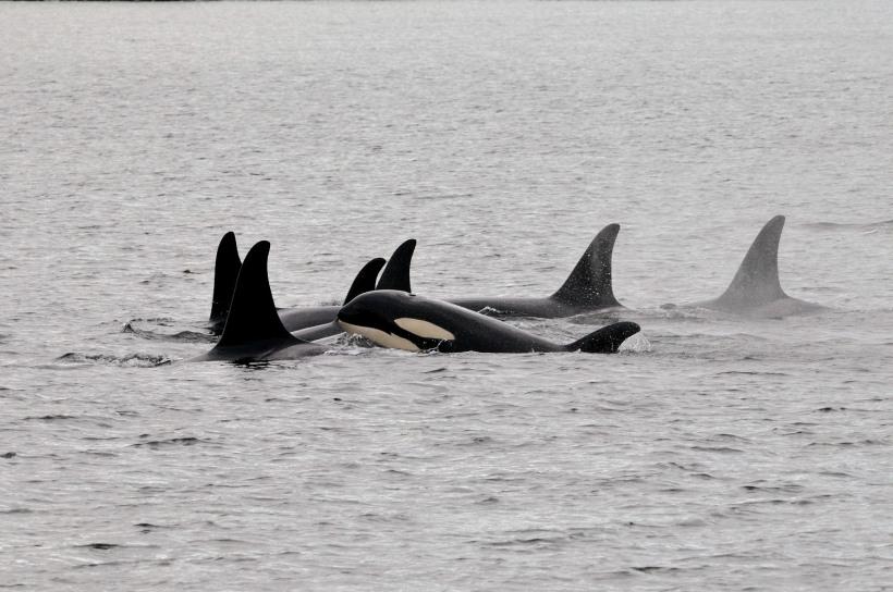 killer whales in bc carl sefina.jpg