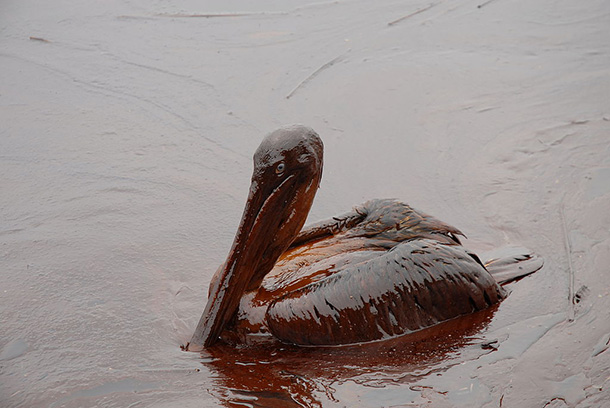oil spill pelican