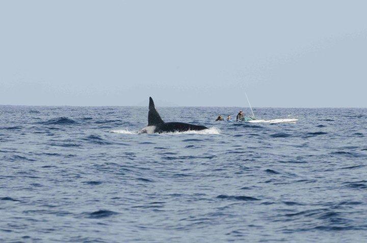 orcas carl sefina 2