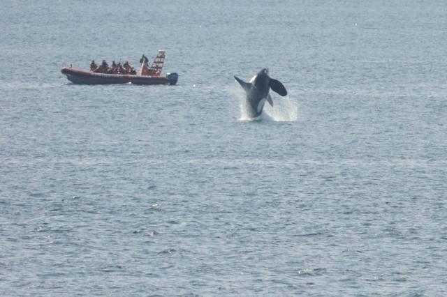 orcas carl sefina