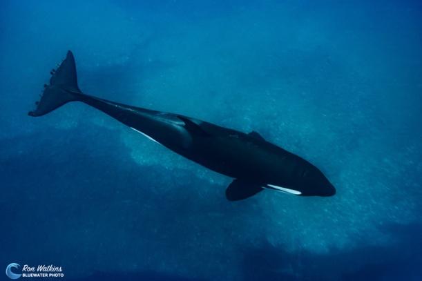 orcas-gal-10