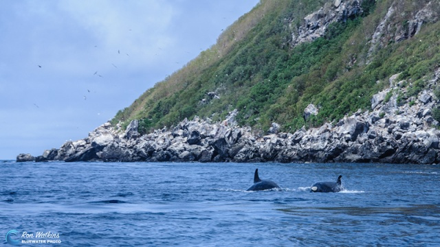 orcas-gal-2