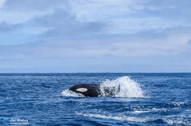 orcas-gal-3