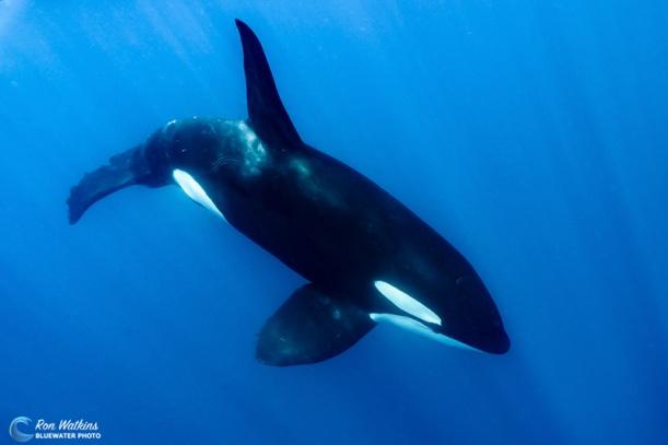 orcas-gal-6