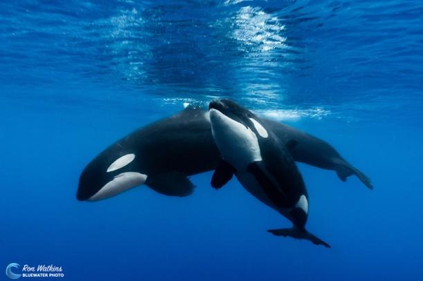 orcas-gal-7