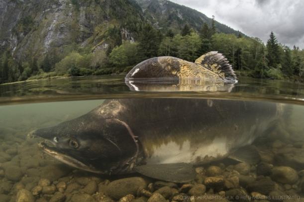 salmon-skeena