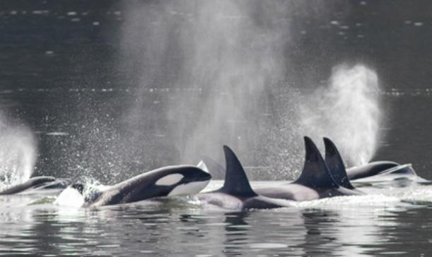 orcas-my-northwest-2016-deadliest-year